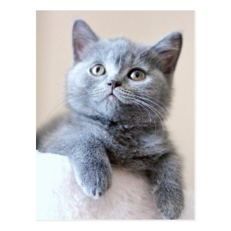 Gray British Shorthair Cat Postcard British Shorthair Cats Fluffy Cat British Shorthair