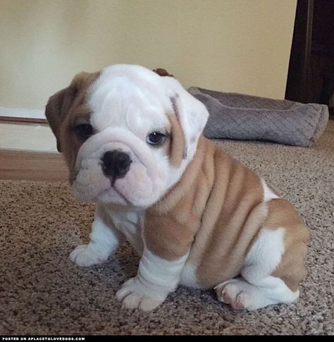 Bulldog Puppy Micro ::: Visit our poster store Rover99.com