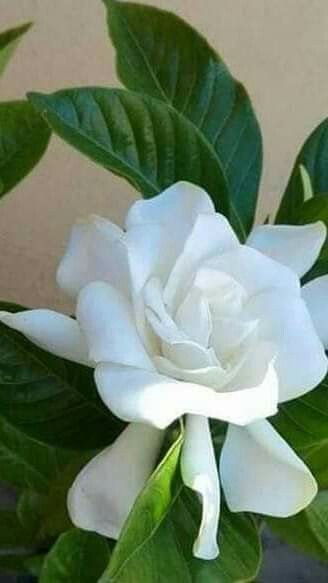 Gardenia Sweet Smell Of The South Pretty Flowers Fragrant Flowers Beautiful Flowers