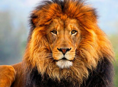 FINALLY on their way home: Last two circus lions in Bulgaria Jora and Black FREE at last   Nature   News   Express.co.uk