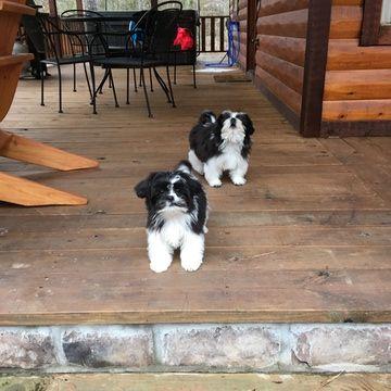 Shih Tzu Puppy For Sale In Granbury Tx Adn 60898 On Puppyfinder Com Gender Male Age 4 Months Old Shih Tzu Puppy Puppies For Sale Shih Tzu