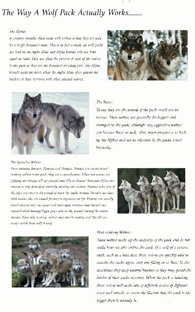 wolf country the pack body postures and social structure - 400×640