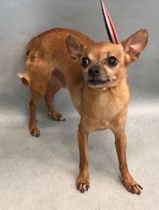 Super Urgent Flaco 38792 Chihuahua Mix 4 Yrs Old Male