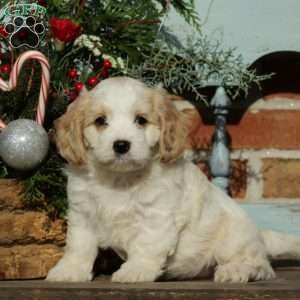 Cavachon Puppies For Sale Cavachon Dog Breed Cavachon Puppies Cavachon Dog Puppies