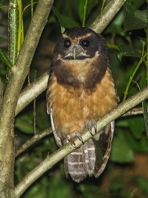 Tawny-browed Owl (Pulsatrix koeniswaldiana). Photo by Francesco Veronesi.