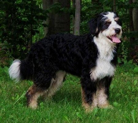 Pin By Robin J Manuel On Bernese Mountain Dog Dog Hero Dogs Dog Breeds