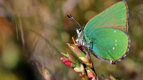 Naturschutz Der Grune Zipfelfalter Ist Schmetterling Des Jahres Schmetterling Falter Zipfel