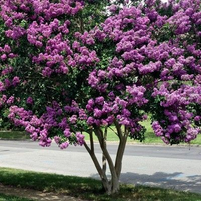 Black Diamond 1pc Crape Myrtle Lavender Lace National Plant Network Crape Myrtle Myrtle Tree Lavender Blossoms