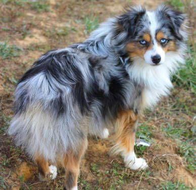 Australian Shepherd Smart Working Dog Australian Shepherd Dogs Toy Australian Shepherd Australian Shepherd