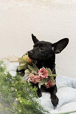 Sacramento Ca Dachshund Meet Knight The Adorable Puppy A Pet