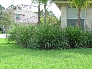 Ornamental Grasses Florida 104 best fl ornamental grass images on pinterest ornamental 104 best fl ornamental grass images on pinterest ornamental grasses garden grass and gardening workwithnaturefo