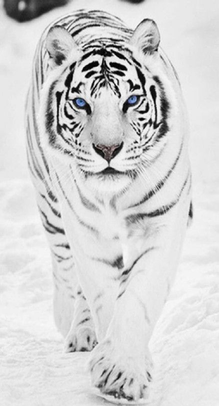 39 Ideas Cats White Blue Eyes Animals In 2020 Pet Tiger Tiger Pictures Tiger Wallpaper