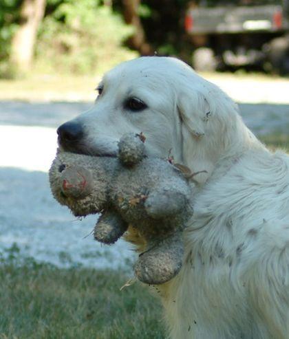 Risa S Golden Retriever Puppies Of Kansas Puppy Care Golden