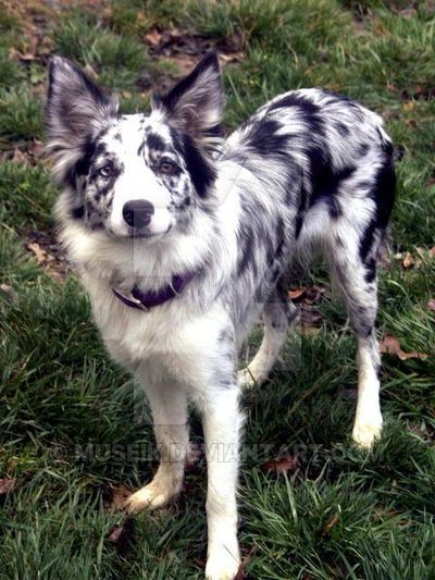 Great No Cost Border Collies Blue Merle Strategies A Border Collie Hails With The Borderlands Connected With Eng Collie Dog Border Collie Blue Merle Dog Breeds