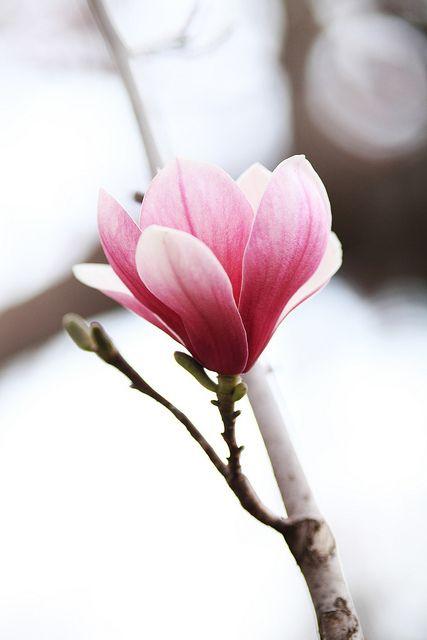 Magnolia une de mes fleurs favorite :)