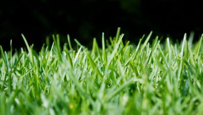 Learn More About Using St Augustine Grass For Your Lawn St