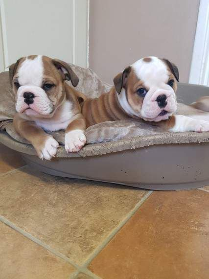 Pure Breed English Bulldog Puppies For Free Adoption Yorba Linda