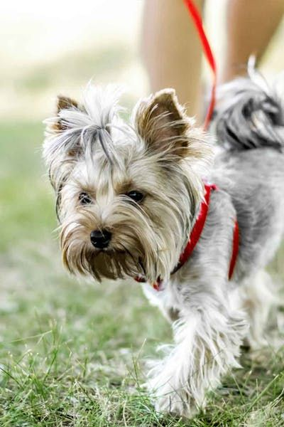 How To Train Your Older Dog To Walk Calmly On Leash Old Dogs