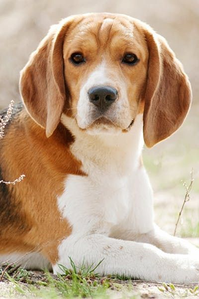 Beagle Dog Breeds Popular Dog Breeds Beagle Puppy