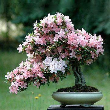 Cheap 10pcs Rare Sakura Seeds Cherry Blossoms Seeds Garden Flower Bonsai Tree Is 1000 In 2020 Bonsai Flower Cherry Blossom Bonsai Tree Bonsai Azalea