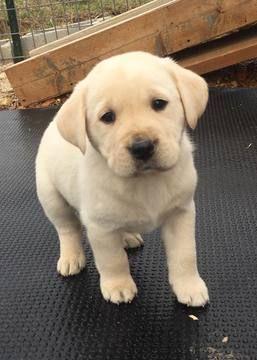Labrador Retriever Puppy For Sale In Urbana Mo Adn 69717 On