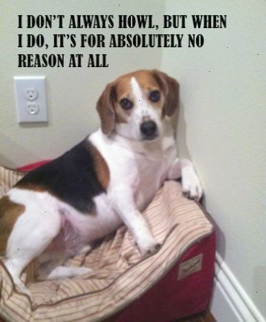 The Most Interesting Dog In The World Dosequisman Beagle