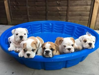 English Bulldog Pups For Sale Usa World Hot Free List Free