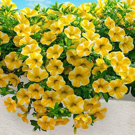 Mini Petunie Superbells Lemon Slice Kubelpflanzen Petunien