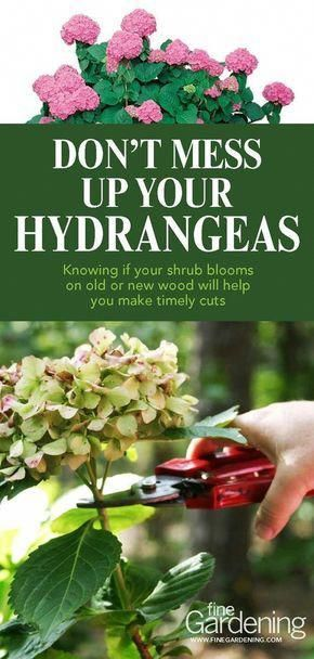 Learn How To Trim Your Hydrangeas Correctly To Keep Them Growing Beautifully Year After Year How Hydrangea Garden Pruning Hydrangeas Organic Vegetable Garden