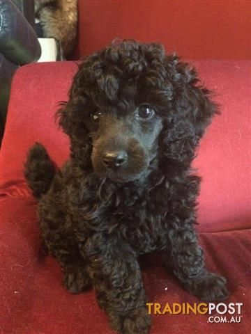 1 Toy Poodles Male For Sale In Tanah Merah Qld 1 Toy Poodles