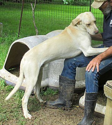 Godley Tx Great Dane Meet Clyde A Dog For Adoption Dogs