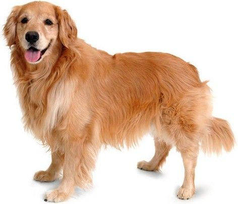 Golden Retriever Dogs Golden Retriever Dogs Bulldog Breeds