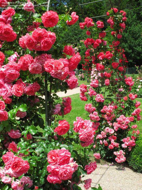 Rosarium Uetersen in first bloom, Beutlin-Garden Baden-Baden, Germany - 14.06.2012