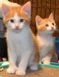 Adopt Orange White Polydoctyl Kittens On Newborn Kittens Kitten Care Cute Cats Kittens