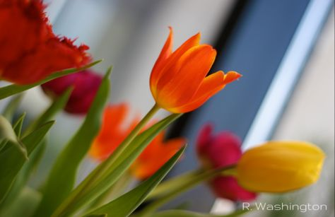 Tulip Bouquet – Canvas Wall Art ( 16 x 20 ) – Rodney Washington | Art Photography - $104 - http://rodneywashingtonartphotography.com/