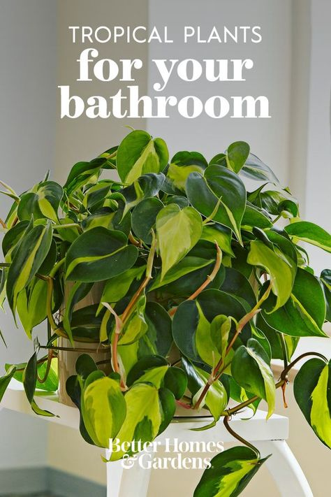 There's a trick to keeping houseplants thriving in drier climates: It's the bathroom. The typical high humidity and warmth of your bathroom is exactly what most tropical plants are missing in their lives. So if your houseplants are struggling, gather them up and display them near your tub or sink. #tropicalplants #plantsforyourbathroom #houseplants #bhg