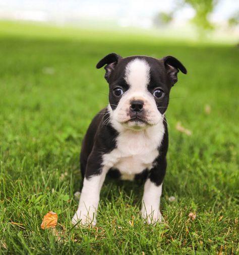 Boston Terrier Puppies For Sale Boston Terrier Puppy Terrier