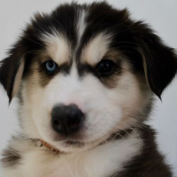 Litter Of 4 Siberian Husky Puppies For Sale In Colorado Springs