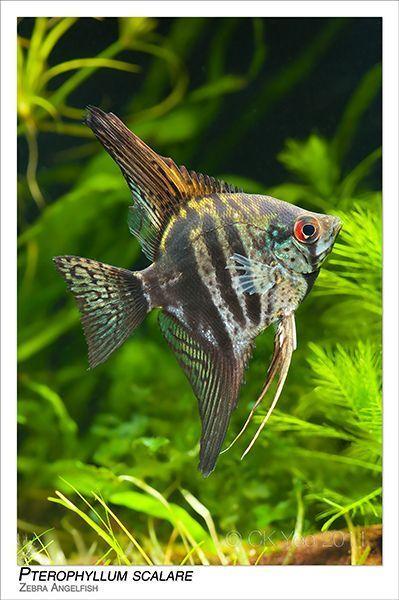 Pterophyllum Scalare Zebra Angelfish Angelfish Pterophyllum Scalare Zebra Tropical Fish Aquarium Tropical Freshwater Fish Aquarium Fish