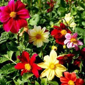 Search Flower Seeds Flower Seeds Online Dahlia