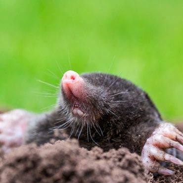 Mole-Relief Pest Control from Gardens Alive!