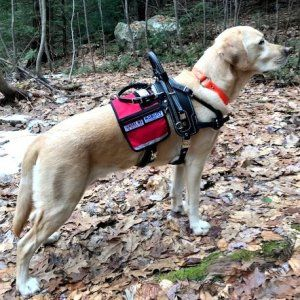 Balance Assistance Harness For Service Dogs Service Dogs Dogs