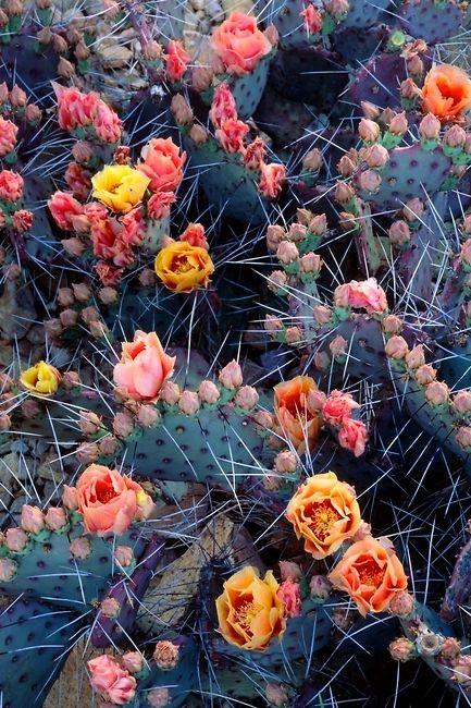 Copyright: George H. Huey ~ Purple prickly pear cactus in flower [Opuntia violacca]. Copyright: George H. Huey ~ Purple prickly pear cactus in flower [Opuntia violacca]. Prickly Pear Cactus, Cactus Y Suculentas, Opuntia Cactus, Cactus Flower, Cactus With Flowers, Flower Bookey, Flower Film, Flower Cafe, Desert Flowers