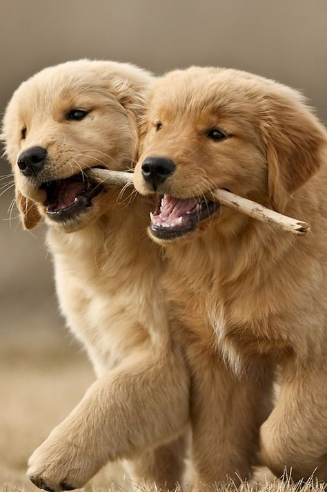 These Adorable Fluffy Golden Retriever Puppies Playing With A