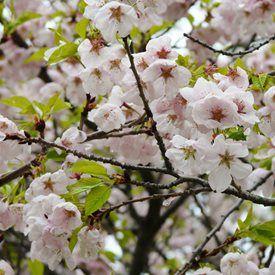 Flowering Cherry Trees Grow An Ornamental Cherry Blossom Tree Garden Design Flowering Cherry Tree Tree Garden Design Cherry Blossom Tree