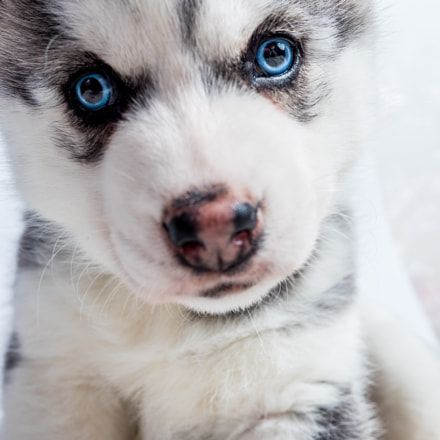 Discover The Secret To Getting Your Siberian Husky To Listen