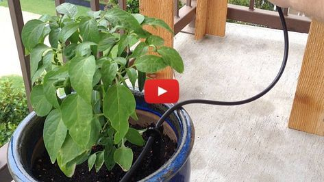 Easy Gravity Fed Drip Irrigation System So Your Garden Gets Watered Whether You Re Home Or Not With Images Drip Irrigation Drip Irrigation System Irrigation