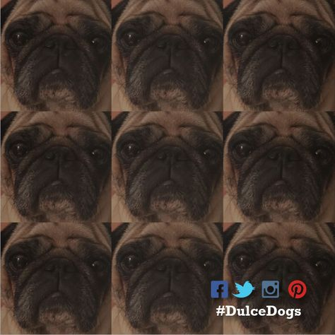 The many emotions of a #pug 😀😡😴😢😱😬 📷 by @dulce.dogs . . . . .  #dog #pugstagram #doglife #doggo #puglicious #pugworld #pugsarethebest #pugsandkisses #pugslovers #pugpuppies #pugsproud_feature #pugslove #dogsoninstagram #dogportrait #pugsdaily #pugsoninstagram #pugtastic #pugcentral #pugofinstagram #pugnation #dogfilter #doge #doggrooming #doggydaycare #pugproblems #dogphotography #pugglelife #dogsarethebest #pugglestruggle