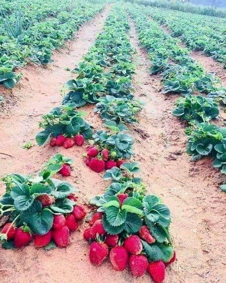 Kebun Strawberry Di Genting