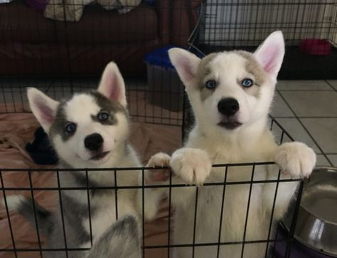 Beautiful Siberian Husky puppies for sale!!! (Blue eyes) Puppies are CKC certified and come with all up to date shots!!! Inquire now before they are all gone!!! Price is negotiable!!!! Cash only!! No PayPal and no checks!!